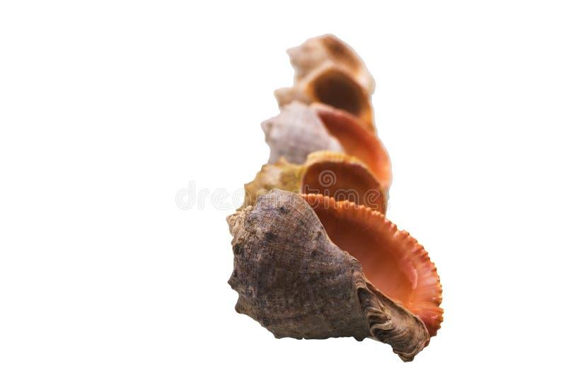 Download 贝壳的被隔绝的图象在白色背景的 库存照片. 图片 包括有 生活, 模式, 橙色, 特写镜头, 海运, 东西 - 72354776