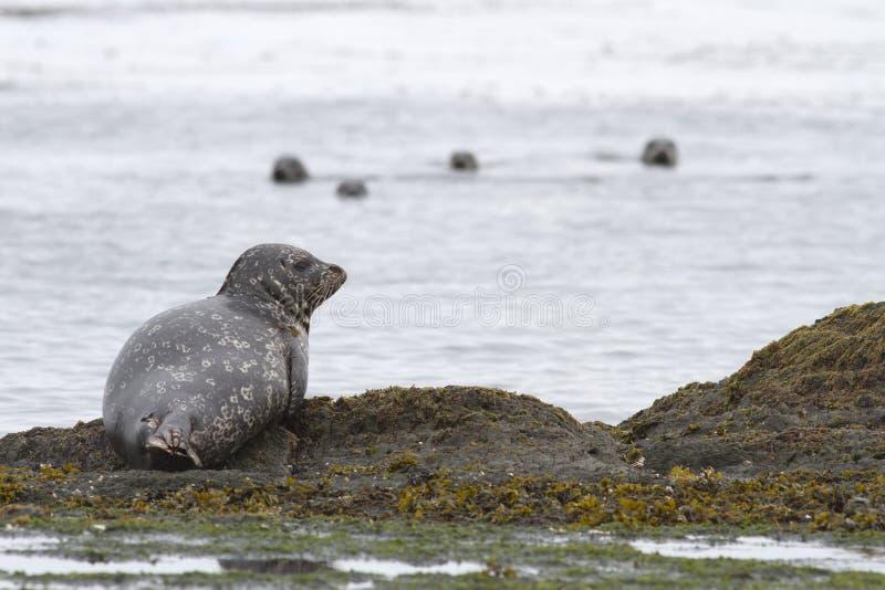 处于低潮中说谎在岸的斑海豹反对backgroun 库存照片