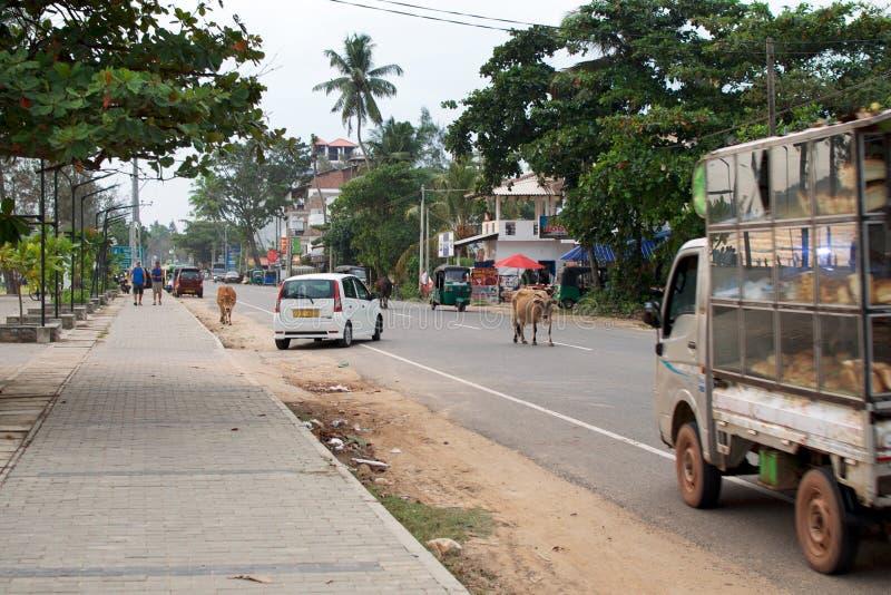 处境危险-母牛任意地穿过在交通汽车中的路 普通的天在印度城市 免版税库存照片