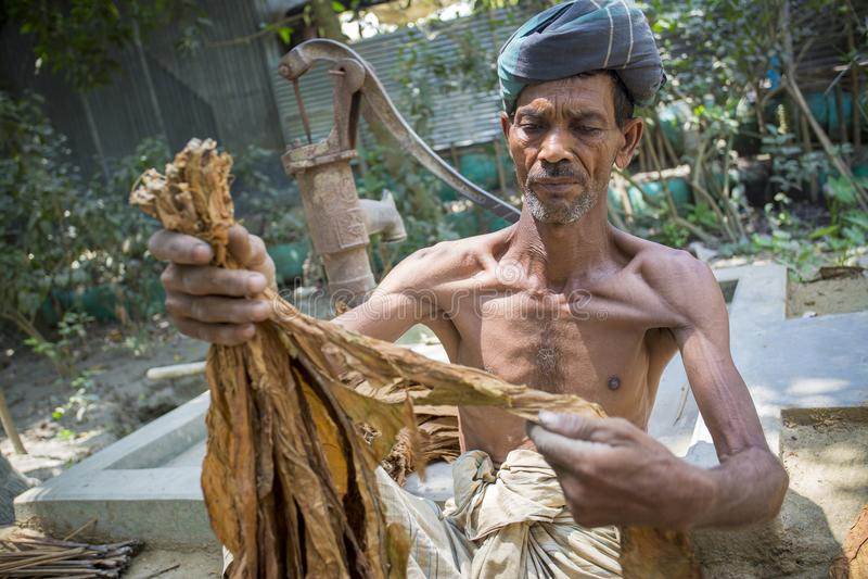 处理束烟草的一名老人烟草工作者在达卡, manikganj,孟加拉国 免版税库存图片