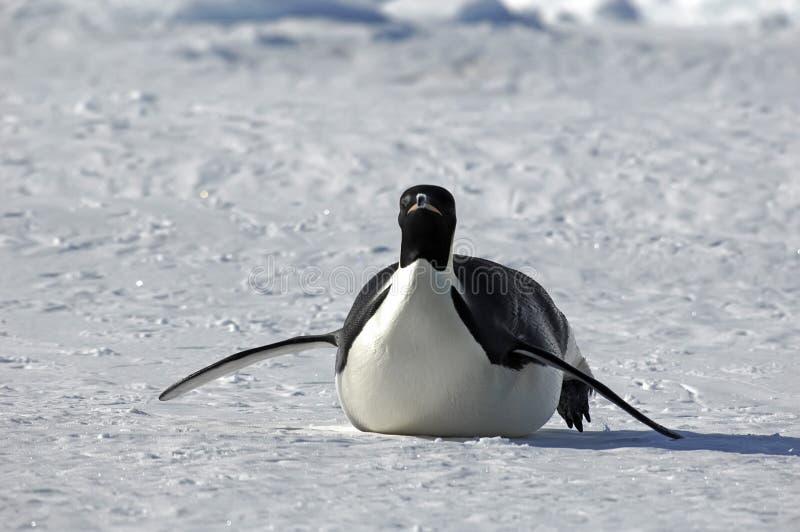 处理的企鹅 库存照片