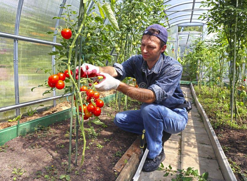 处理蕃茄灌木的工作者自温室 库存照片