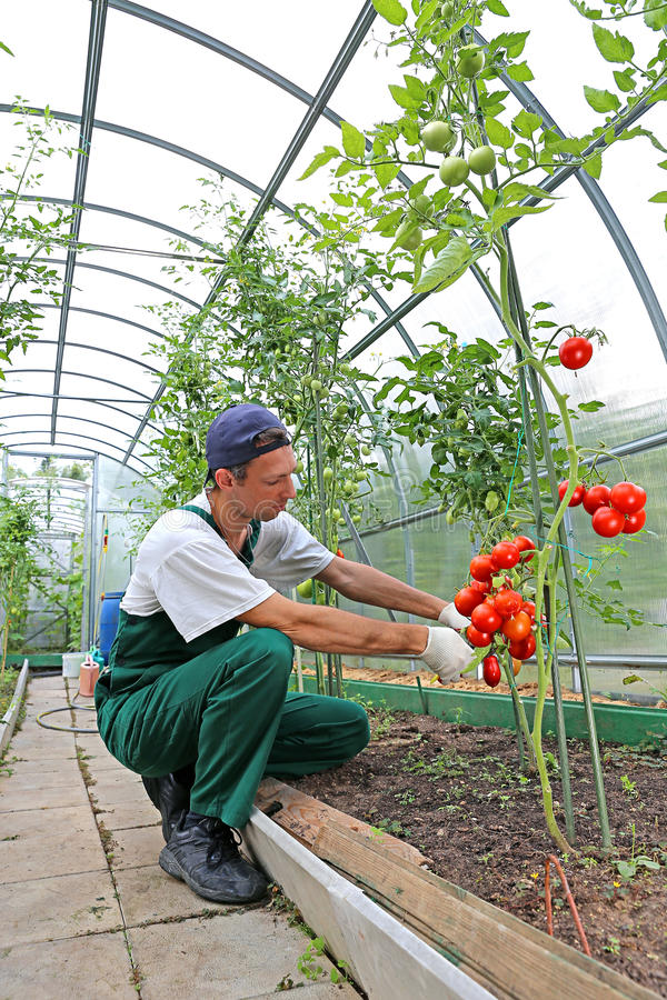 处理蕃茄灌木的工作者自温室 图库摄影