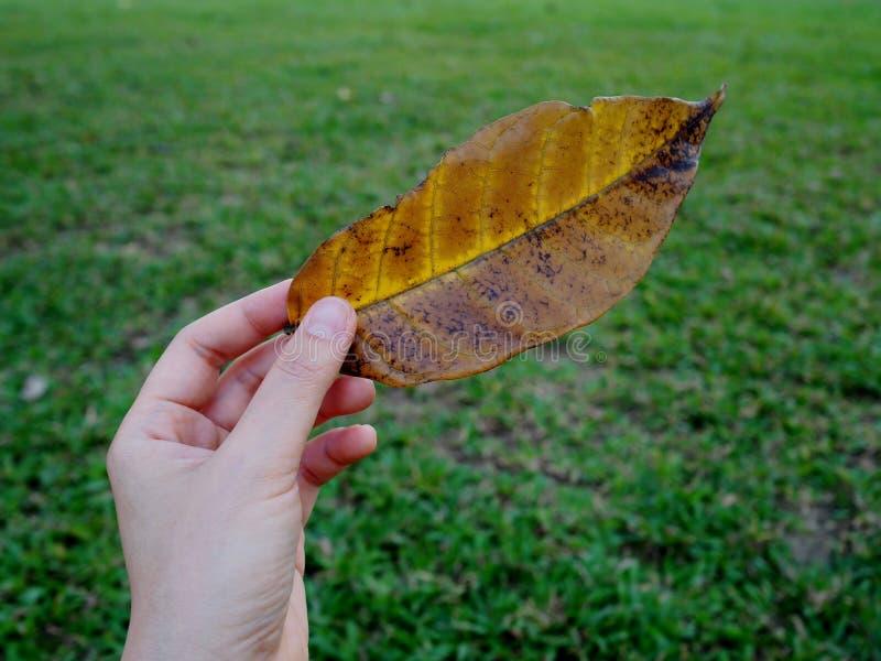 处理黄色叶子 图库摄影