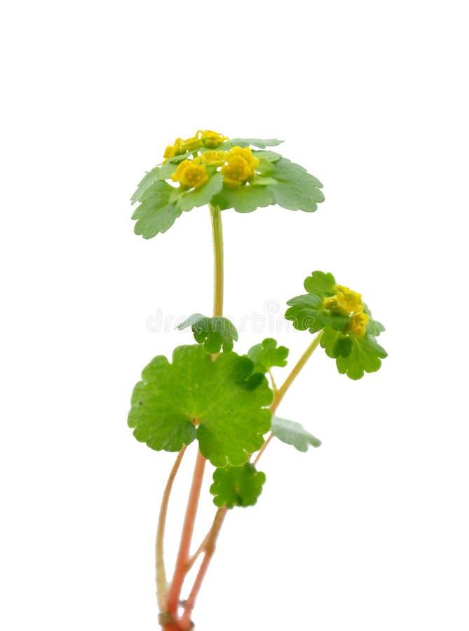 备选金黄有叶的saxifrage 免版税库存图片