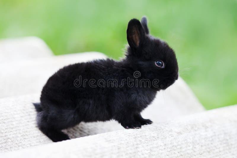 复活节兔子概念 小逗人喜爱的兔子,蓬松黑宠物 软的焦点,浅景深拷贝空间 免版税图库摄影