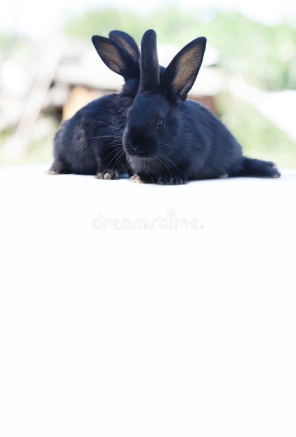 复活节兔子概念 小逗人喜爱的黑兔子,在白色背景的蓬松宠物 软的焦点,浅景深 免版税库存图片