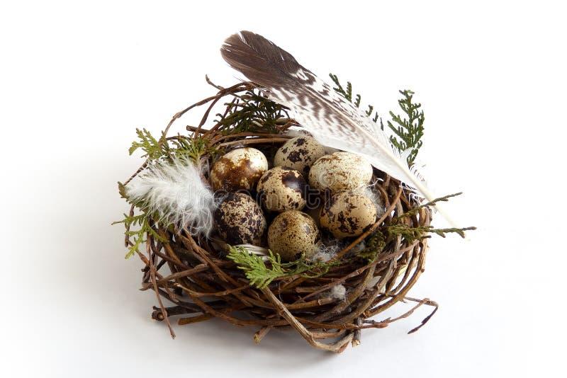 复活节在巢的鹌鹑蛋与羽毛鸟 库存图片