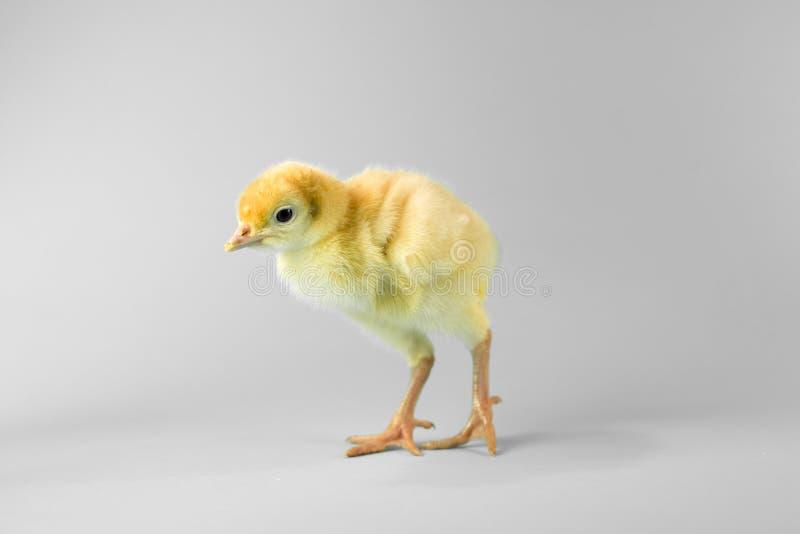 复活节在灰色背景的火鸡小鸡 免版税库存图片