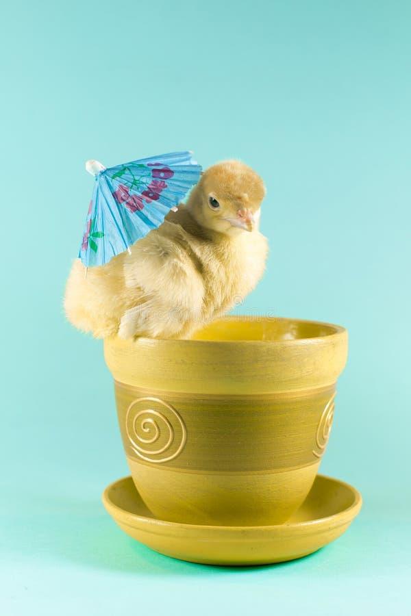 复活节在绿松石背景的火鸡小鸡 免版税图库摄影