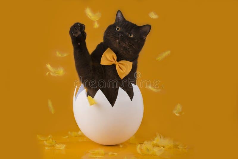 复活节巧克力猫从在黄色backgro的鸡蛋孵化了 库存图片