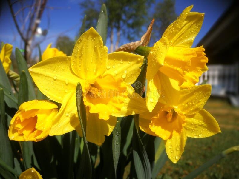 复活节lilly开花与雨下落 免版税库存图片