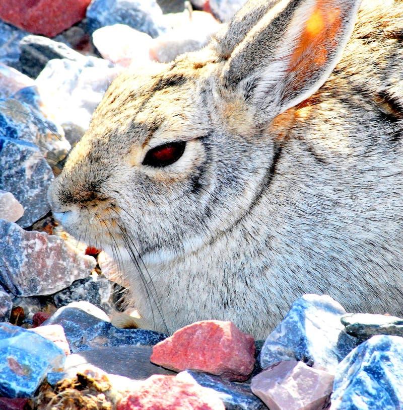 复活节兔子。 免版税库存照片