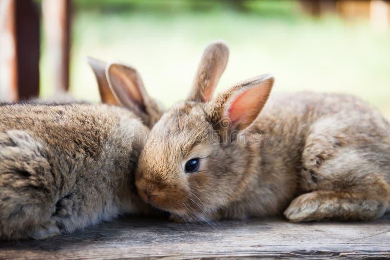 复活节兔子概念 两只蓬松兔子,特写镜头,浅景深,软的焦点 库存照片
