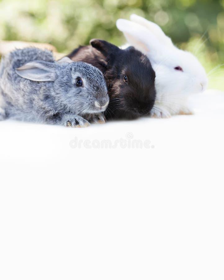 复活节兔子概念 小逗人喜爱的灰色黑白色兔子,在白色背景的蓬松宠物 软的焦点,浅深度  库存照片