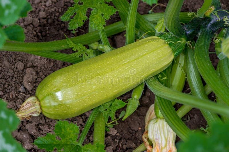 夏南瓜开花和成熟果子在菜园里 图库摄影