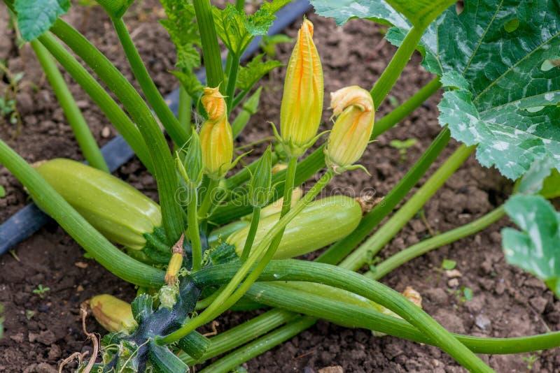 夏南瓜开花和成熟果子在菜园里 免版税库存照片