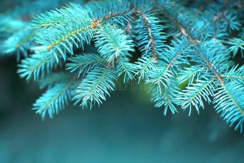 夏园青云杉 云杉在户外,针叶松紧身,大自然 太阳耀斑 园林设计 库存图片