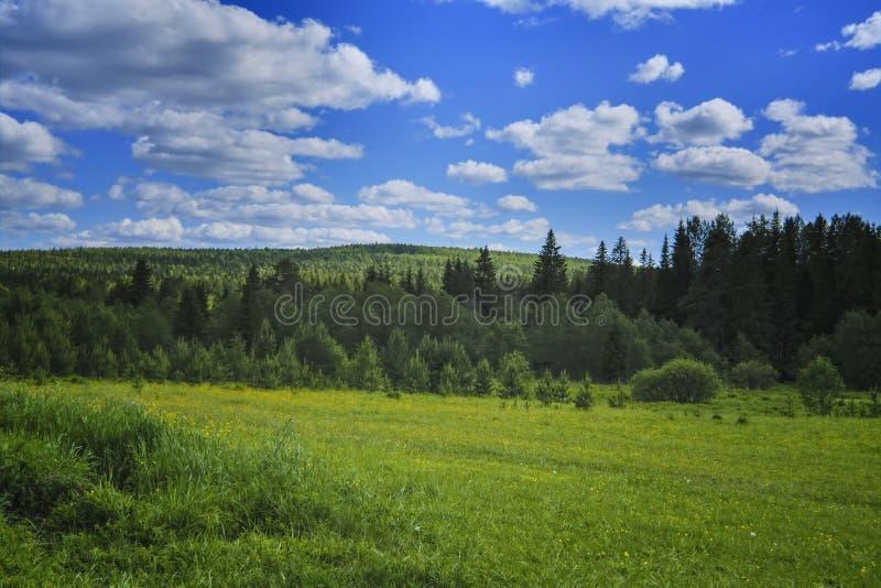 夏天与绿草和野花的草甸风景在一具球果森林和天空蔚蓝的背景 免版税库存图片