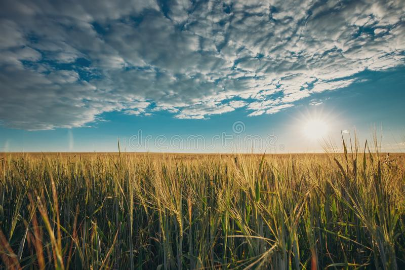 夏天发光在年轻绿色上W农业风景的太阳  库存图片
