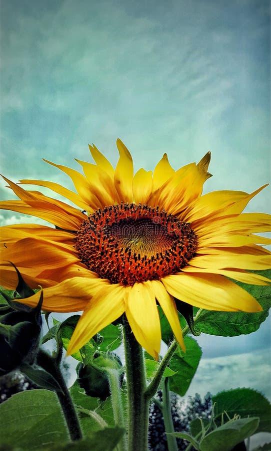 夏天向日葵的中部 免版税库存图片