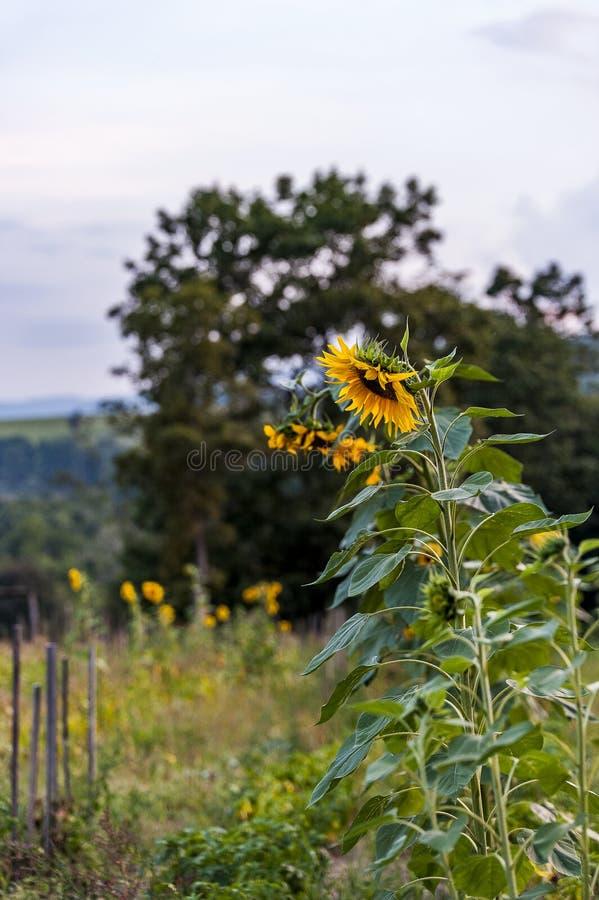 夏天向日葵-阿巴拉契亚山脉-西维吉尼亚 库存图片