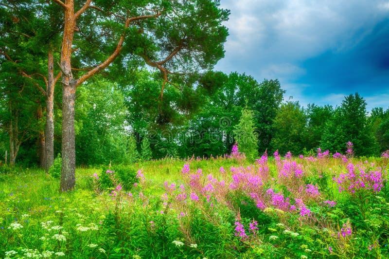 夏天在多云天气-绿色杉树的森林风景在剧烈的天空和桃红色柳草下在前景 免版税库存照片