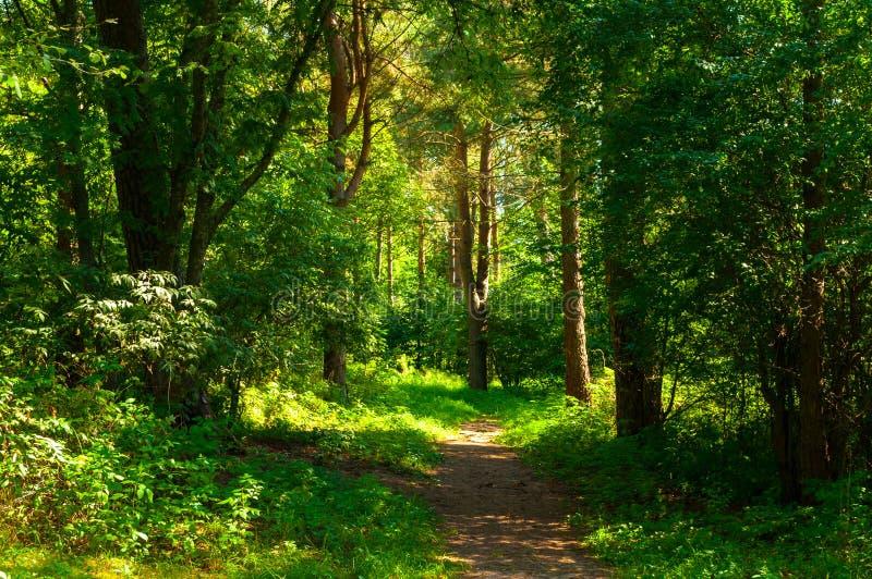 夏天在晴朗的天气-软的阳光和狭窄的道路的森林风景点燃的林木 r 库存照片