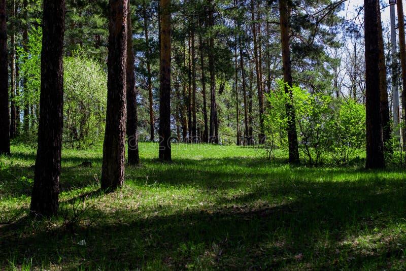 夏天在杉木森林里 库存照片