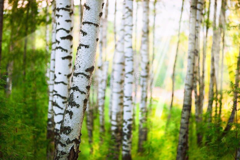夏天在桦树森林里 图库摄影