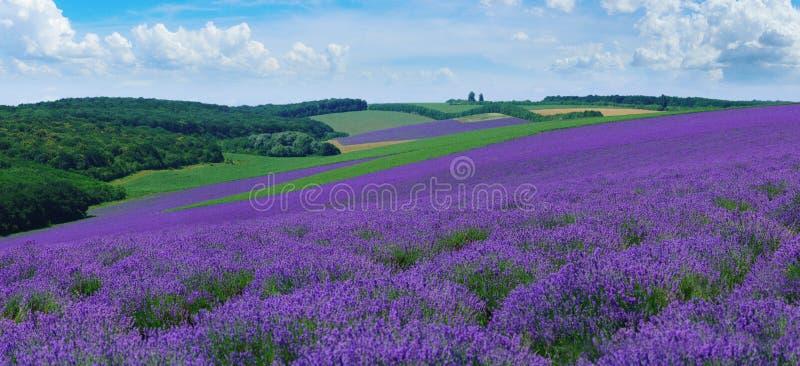 夏天小山全景环境美化与开花的淡紫色领域 免版税图库摄影