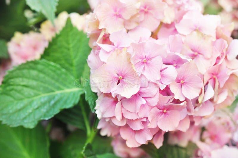 夏天开花的桃红色八仙花属花在庭院里 免版税库存图片