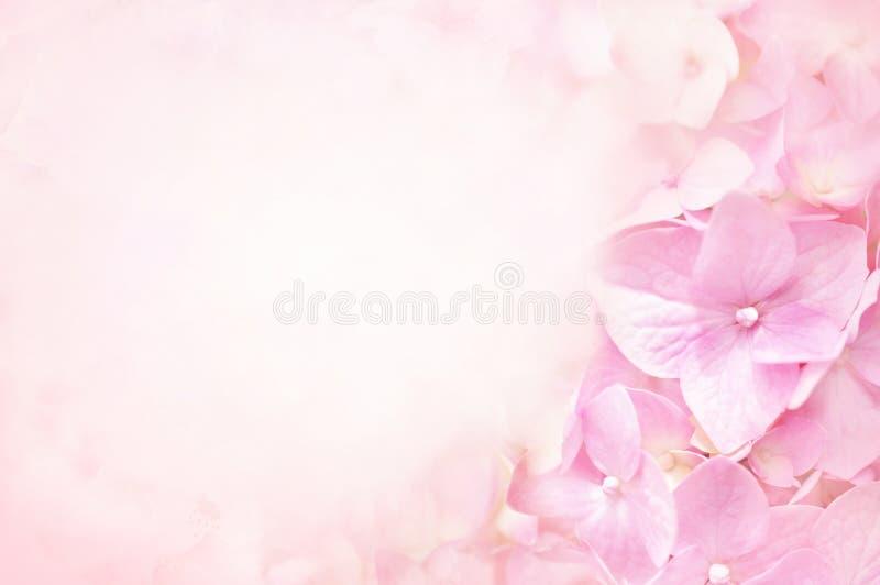 夏天开花的桃红色八仙花属花 库存图片