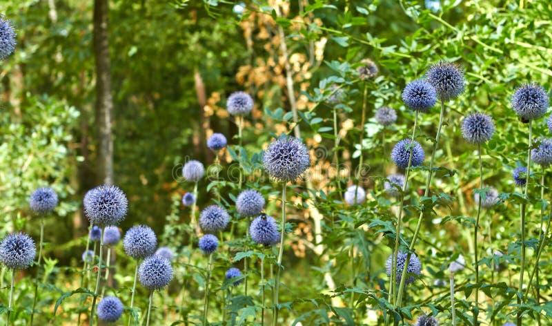夏天开花的花在阿纳姆 荷兰7月 免版税库存照片