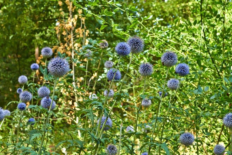 夏天开花的花在阿纳姆 荷兰7月 免版税库存图片