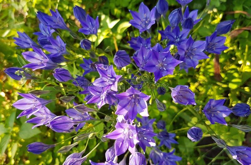 夏天开花的tritelea淡紫色花 库存照片