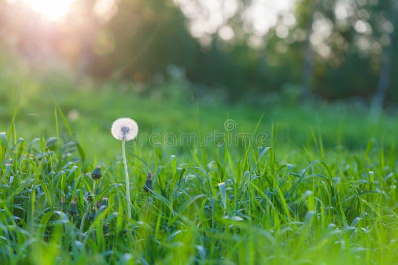以夏天日落和绿草为背景的蓬松蒲公英花 库存照片