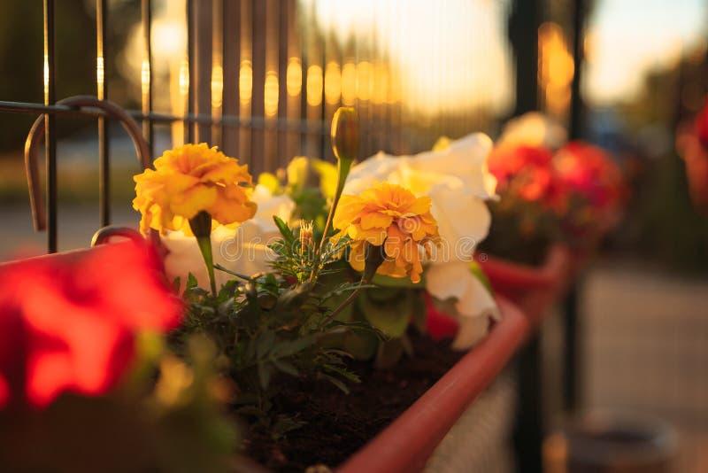 夏天日落照明设备的阳台庭院:美丽的五颜六色的喇叭花花 库存图片