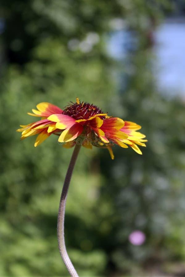 夏天明亮的黄色红色花 免版税库存图片