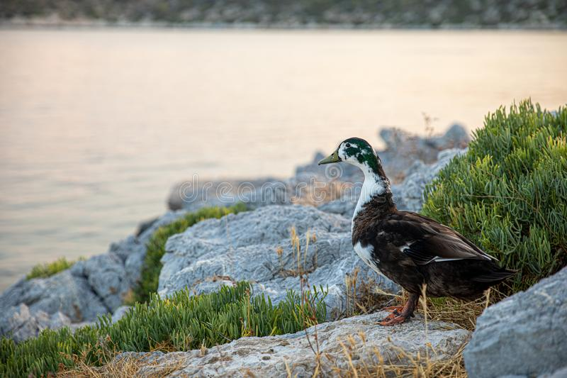夏天晚上野鸭走由海的在一个自然生活环境里在Agistri海岛的海岸,Saronic海湾, 库存照片