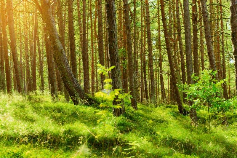 夏天松林 苏格兰语或苏格兰松树松属sylvestris树在常青具球果森林里 库存照片