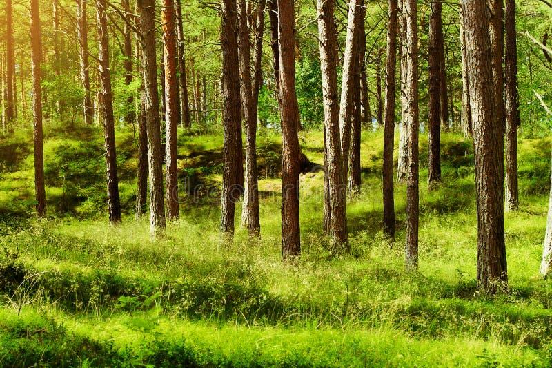 夏天松林 苏格兰语或苏格兰松树松属sylvestris树在常青具球果森林里 免版税库存照片