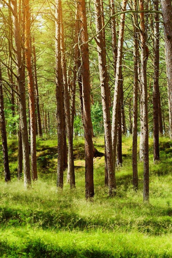 夏天松林 苏格兰语或苏格兰松树松属sylvestris树在常青具球果森林里 库存图片