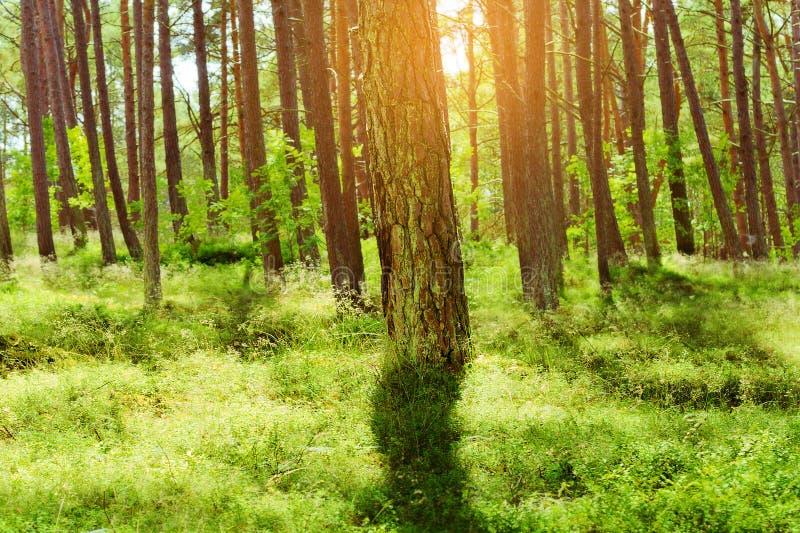 夏天松林 苏格兰语或苏格兰松树松属sylvestris树在常青具球果森林里 免版税库存图片