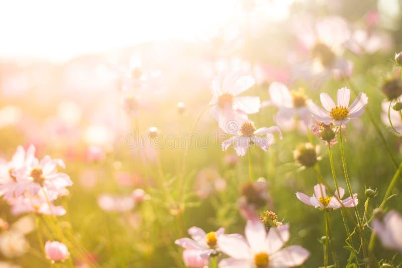 夏天桃红色和白花的领域在温暖的阳光下 免版税库存图片