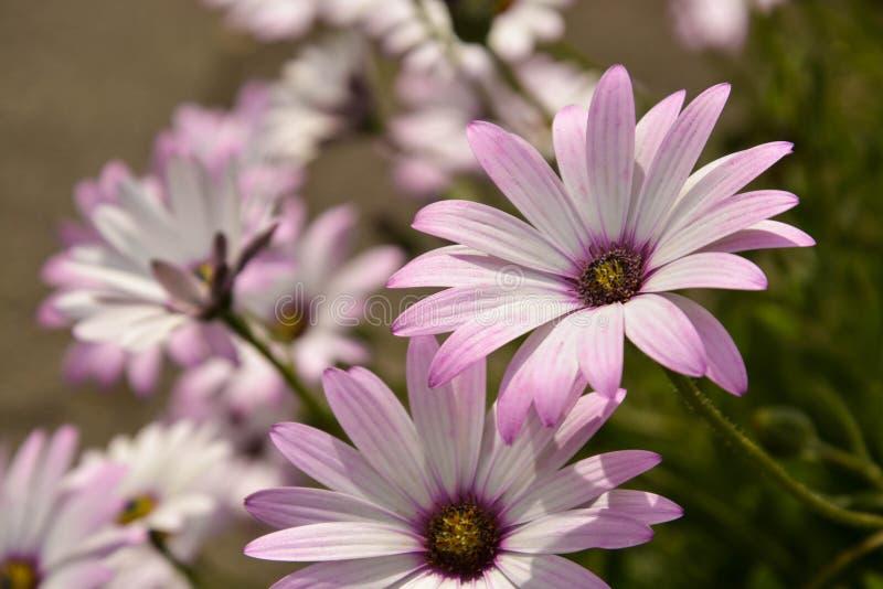 夏天桃红色camomiles花灌木 庭院活花 免版税库存图片