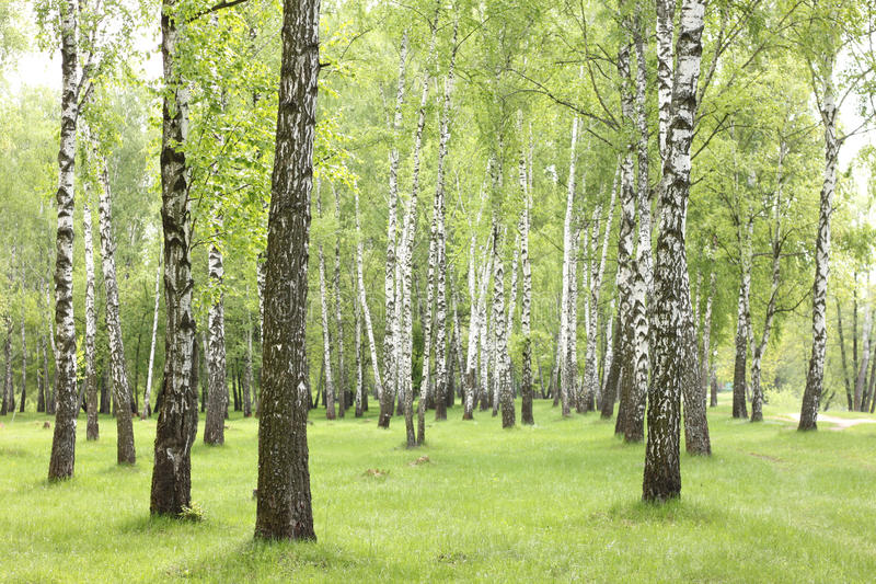 夏天桦树在森林,美丽的桦树树丛,桦树木头里 库存图片