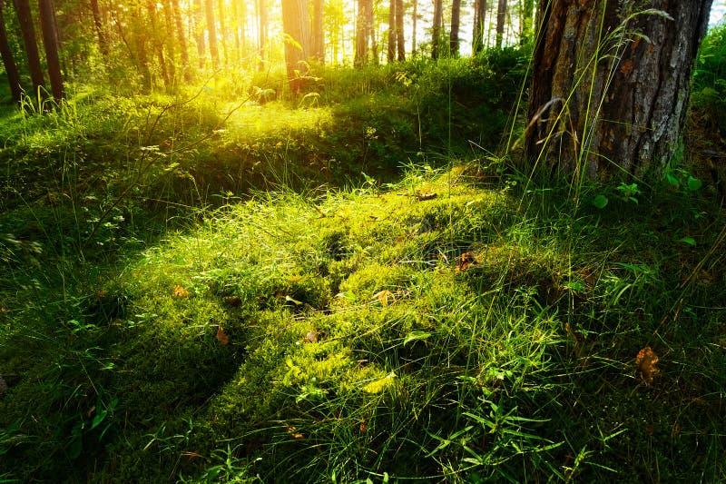 夏天森林下木植被 草、灌木和太阳由后照的青苔生长在松林的understory或草丛 免版税库存图片
