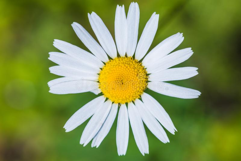 夏天森林花的背景的宏观射击与雄芯花蕊、杵和刀片的 免版税库存照片