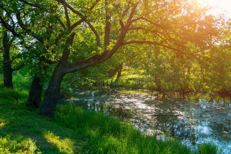 夏天森林风景-在小森林河的河岸的绿色落叶橡树在夏天晴朗的早晨 免版税库存图片